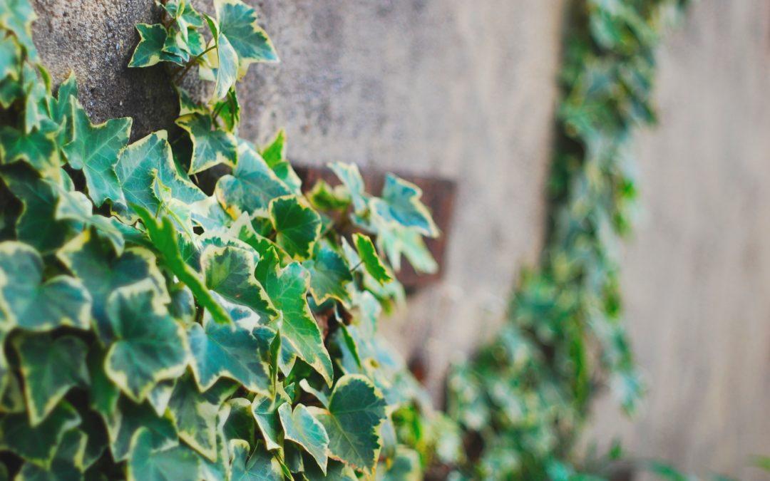 緑化システムで駐車場・屋上をガーデンに~壁面の緑化に適した「ヘデラ」の魅力~